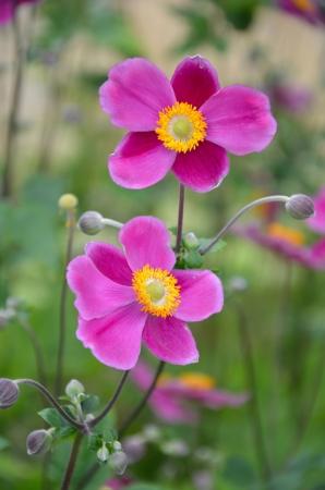 Pink japanese anemone flowers in bloom