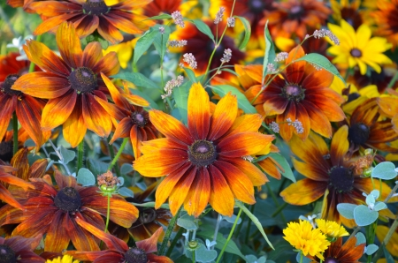 Beautiful orange and yellow black-eyed susan flowers in summer garden