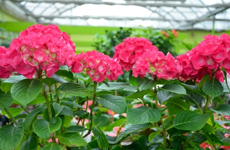 conservatory: Beautiful pink hydrangea flowers in greenhouse
