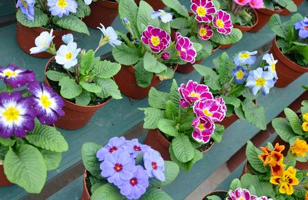Colorful pots full of winter primroses