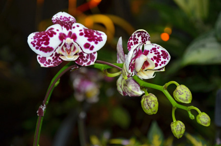 spotted: Beautiful white and purple spotted moth orchid flowers