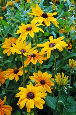 Beautiful black eyed susan flower garden Stock Photo