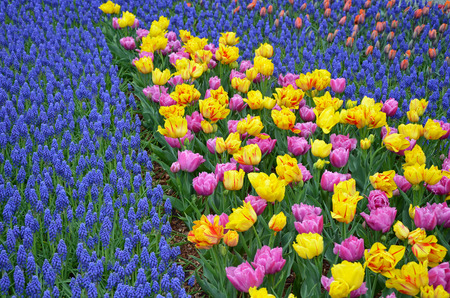 Colorful spring tulips and bluebell flower garden photo