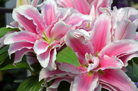 stargazer lily: Beautiful pink stargazer lily flowers in full bloom