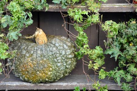 hybrid: Lumpy green hybrid pumpkin on wooden shelf