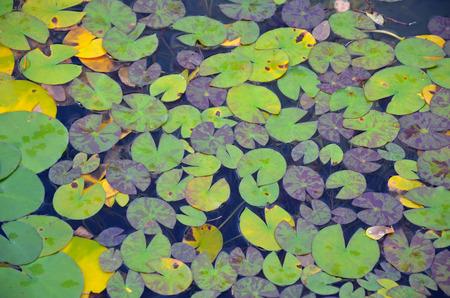lilypad: Green lilypad pattern on garden pond Stock Photo
