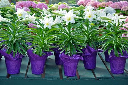 Doniczki z pięknych białych kwiatów lilii wielkanocnych Zdjęcie Seryjne