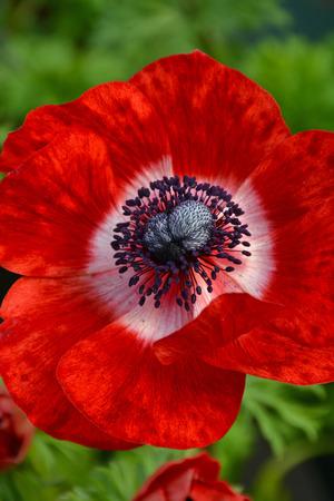 Beautiful single red ornamental poppy flower with black center stock beautiful single red ornamental poppy flower with black center stock photo 57067639 mightylinksfo