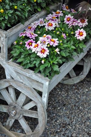 carreta madera: flores de crisantemo bastante rosado en carro de madera decorativa rueda sembradora