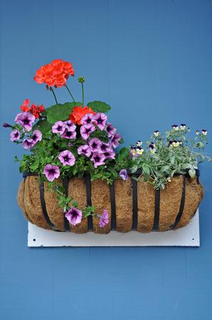petunias: Flower basket with geraniums and petunias on blue wall