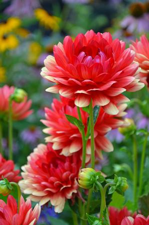 Hermoso jardín de flores de dalia roja y amarilla Foto de archivo - 91876596