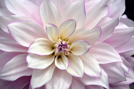 White and purple dahlia flower