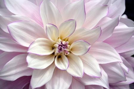 White and purple dahlia flower
