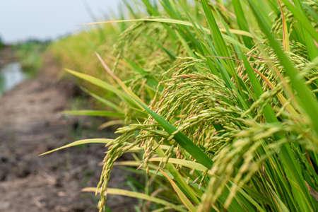 Green rice fields that are abundant in Thailand. Reklamní fotografie