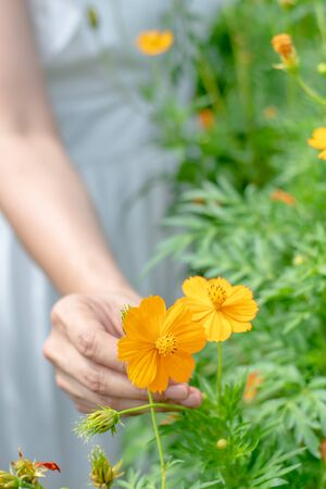 Close up of the hand of a beautiful woman touching the yellow flowers in the garden. Фото со стока
