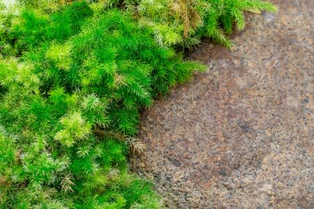 Close-up of a green moss on a rock in the garden.