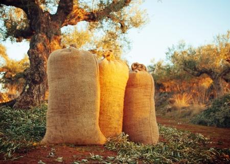 Horizontale afbeelding van drie zakken van vers geoogste olijven tussen de olijfbomen verlicht door de ondergaande zon Stockfoto