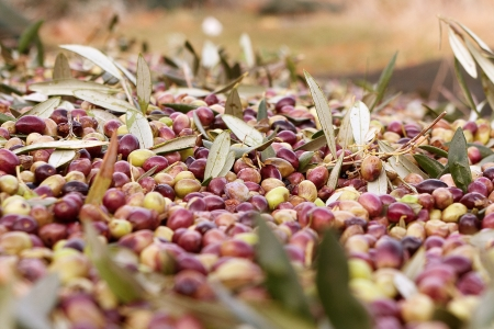 A closeup image of freshly harvested olives
