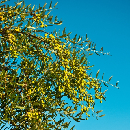 Green olives on the branch against the blue sky