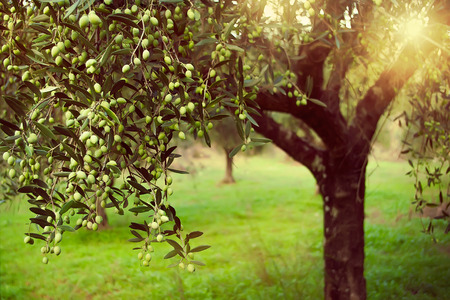 Vintage toned image of olive branches full with olives Stock Photo