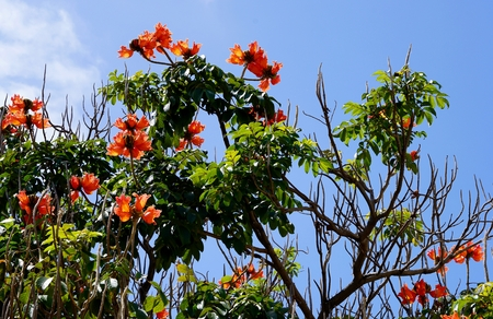 nandi: closeup of an african tulip tree in front of the blue sky