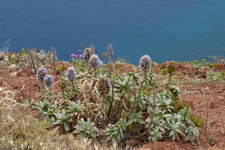 scilly: closeup of a pride of Madeira, the ocean in the background