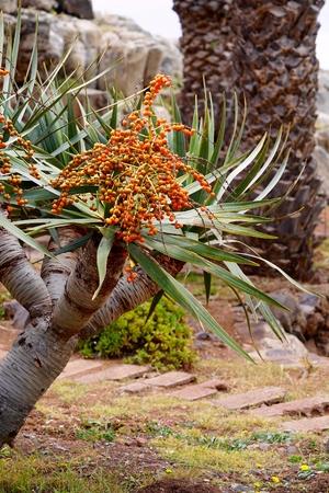 semen: closeup of a dragon tree with its semen