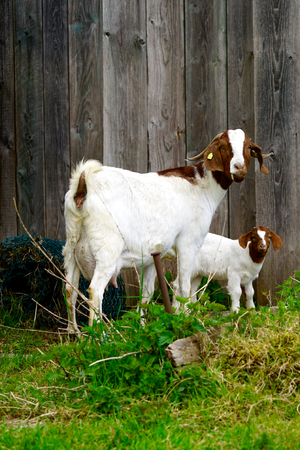 nanny goat: nanny goat and her child at a farm Stock Photo