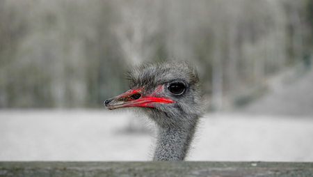red beak: the color red: red beak of an ostrich Stock Photo