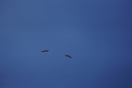 two seagulls flying in the same direction under the blue sky Banco de Imagens