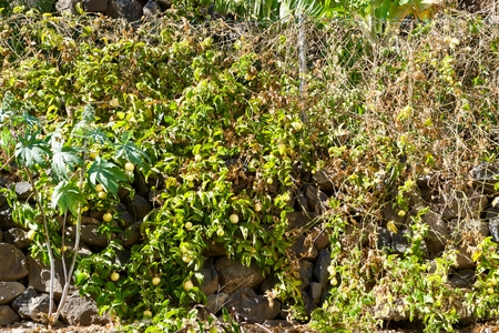 closeup of a passion fruit plant with a lot of fruits