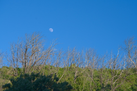 background of grey trees and green bushes in front of a blue sky with the moon