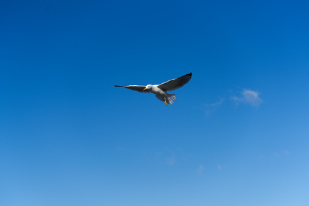 seagull flying in the perfect blue sky