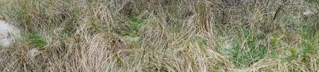panorama background of dune bushes