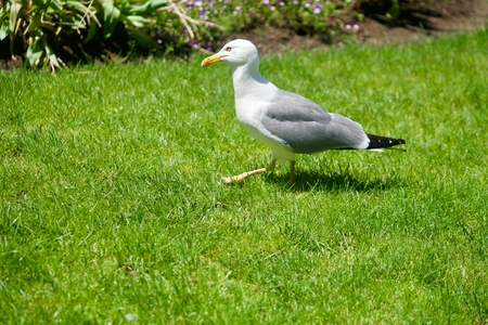 Closeup of. a seagull walking through green grasss Stockfoto