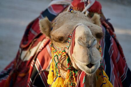 closeup of a camel head in the sun