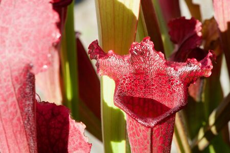Close-up of a red carnivorous plant