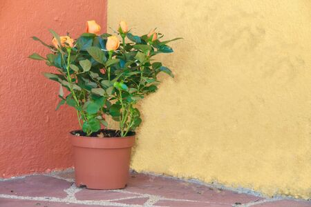 Close-up of an orange colored rosebush in front of a yellow-red wall Reklamní fotografie