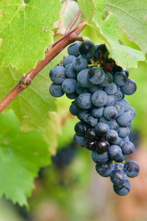 Closeup of a grape of redwine