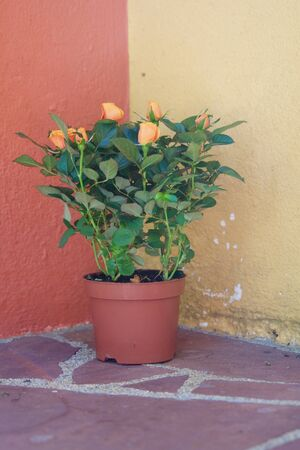 Close-up of an orange colored little rose bush in front of a not perfect mediterranean wall Reklamní fotografie