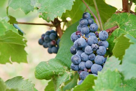 Close-up of a red grapevine Stok Fotoğraf