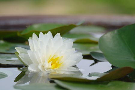 nymphaea: A white lotus and green leaves in the pot