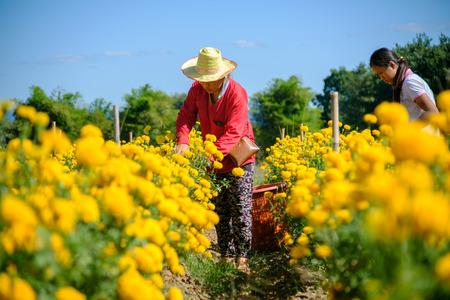 Phetchabun, Thailand - November 28, 2016: Thai women worker is harvesting Marigold flowers at the farm in Thailand. Photo taken on: 28 N