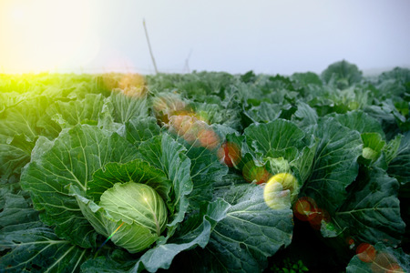 lighting flare effect on Landscape view of a freshly growing cabbage field. Phetchabun District, Thailand.Photo taken on: 29 November , 2016