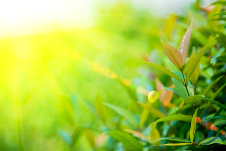 lighting flare effect on Nature green leaf with green color bokeh background.