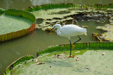 Intermediate Egret on big lotus leaf in public park. Bangkok, Thailand Stock Photo