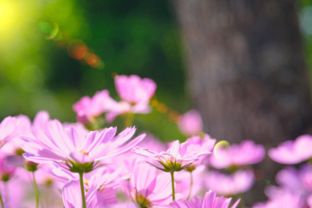 sun lighting flare effect. cosmea flower under sunlight  with selective focus and blurry background.