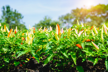 bushy plant: Red and green peppers growing in the garden with selective focus and blurry background with sun lighting flare effect.