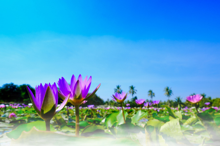 lotus effect: This beautiful purple water lily or lotus flower blooming on the water with fog effect in garden,Thailand. Selective and soft focus with blurred background.