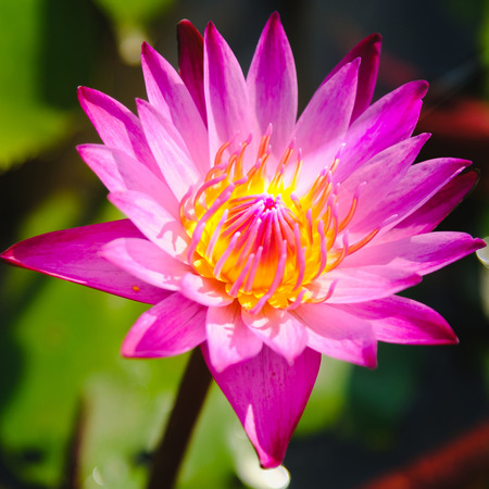 Top view of beautiful Pink water lily or Pink lotus flower blooming on the water in garden,Thailand. Selective focus with blurred background. Stock Photo